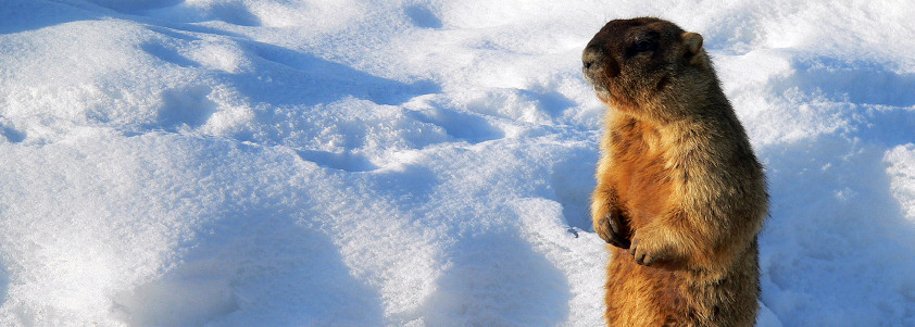 Groundhog Day: All About Groundhog Teeth
